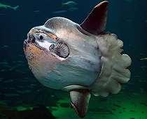 Tahukah Kamu, Ikan Berbentuk Pancake Ini Unik Banget Lho