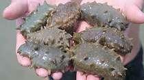 Jelly Gamat, Teripang Laut yang Punya Manfaat Lawan Kanker