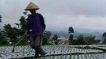 Kisah Sukses Petani 'Emas Putih' di Lereng Gunung Sumbing