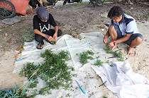 Kepulauan Seribu Kembali Kembangkan Budidaya Rumput Laut